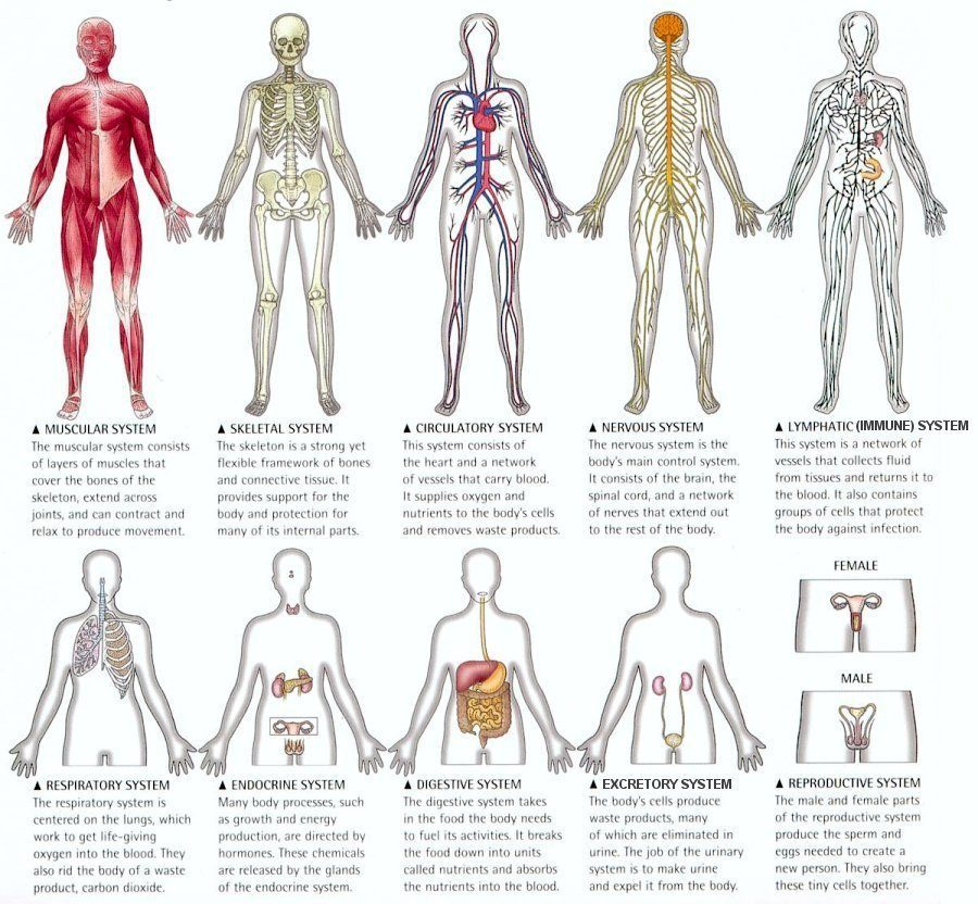 picture of human body system – applecool, Human body